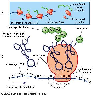RNA was discovered and its function explained in 1957